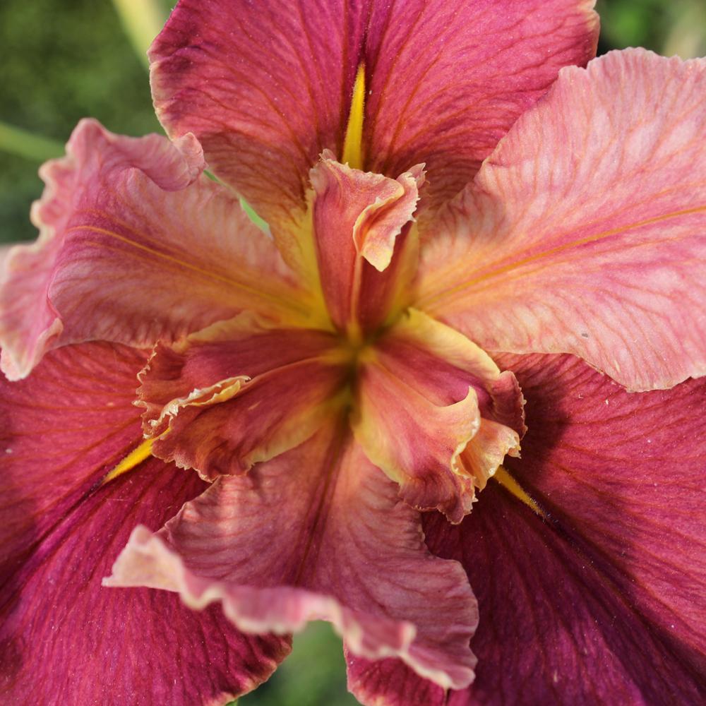 Peaches n wine pink louisiana irisbog plantsthe pond guy peaches n wine pink louisiana iris bundle of 2 izmirmasajfo