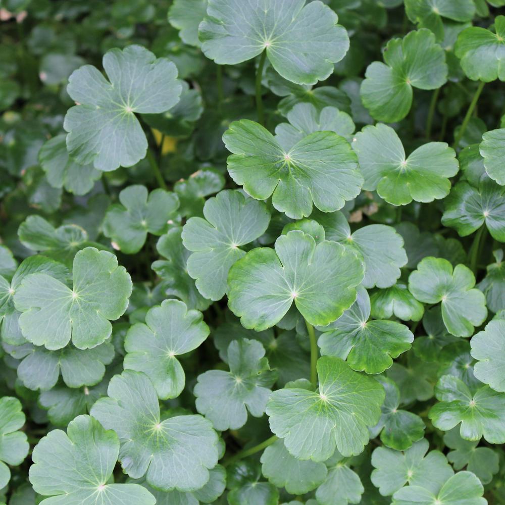 Pennywort pond plant pennywort plant for sale for Plants near ponds