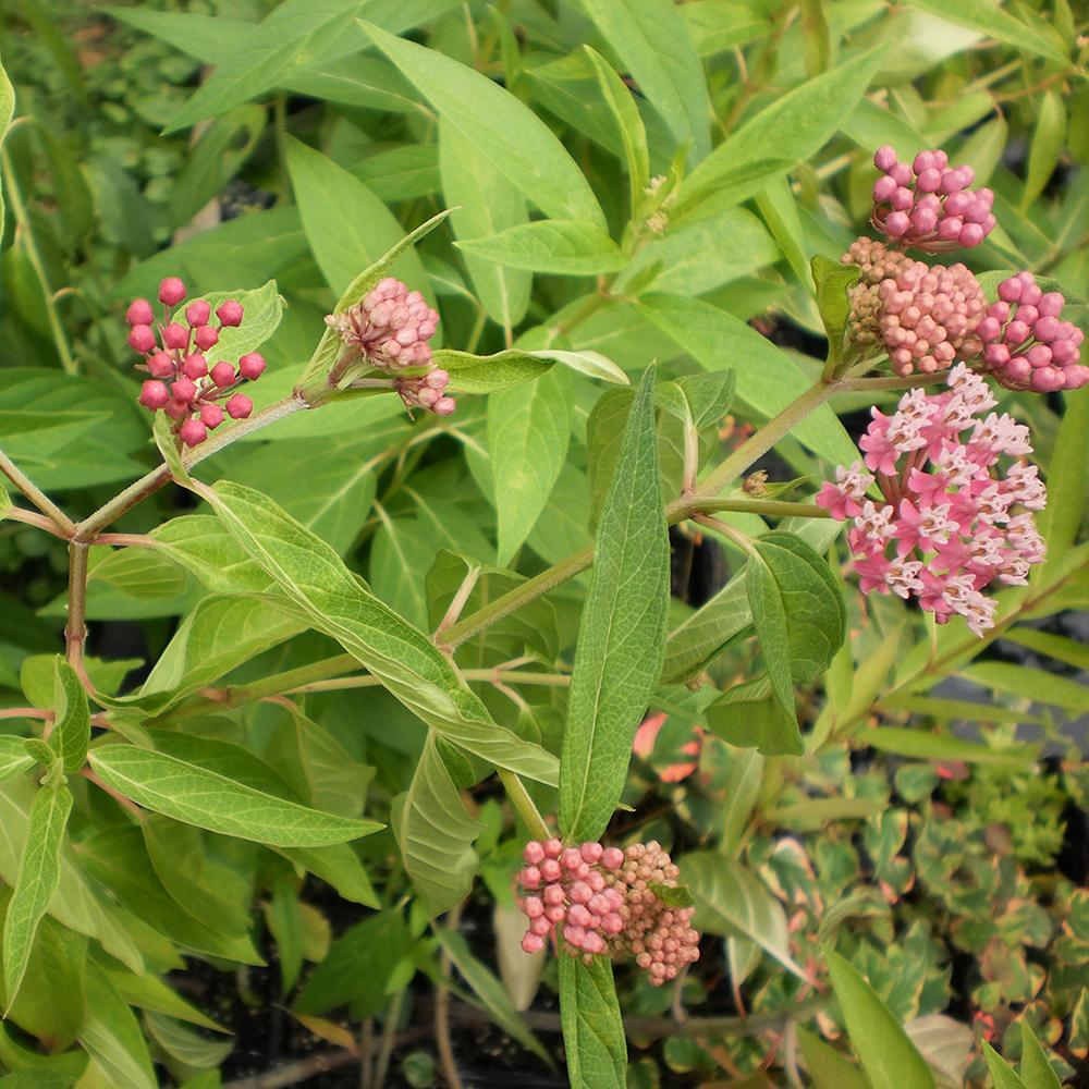 Pink Butterfly Flowerbog Plantsthe Pond Guy