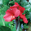 Bog Plant - Red Canna