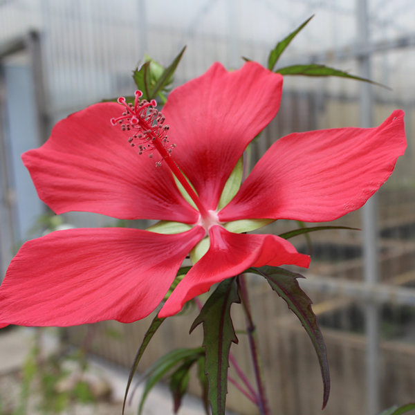 Red Hibiscus - Tropical Bog