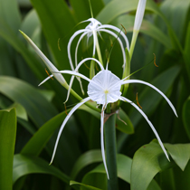 Spider Lily, Bundle of 2
