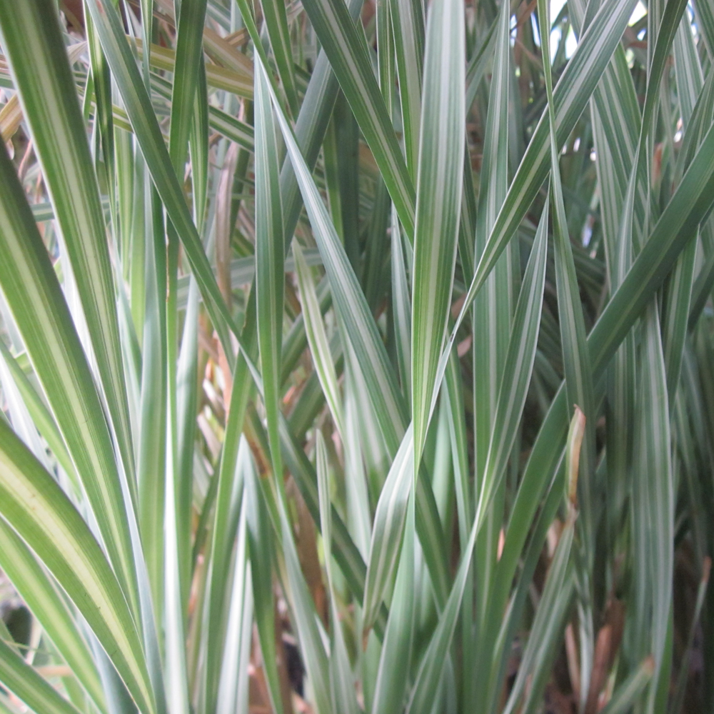 Variegated Cattail Cattail Plants For Sale The Pond Guy