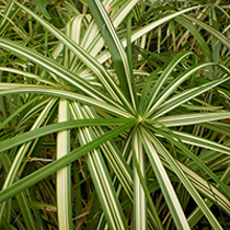 Variegated Umbrella Palm
