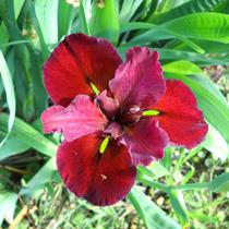 Velvet Elvis, Red Louisiana Iris, Bundle of 2