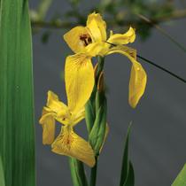 Yellow Flag Iris, Bundle of 2