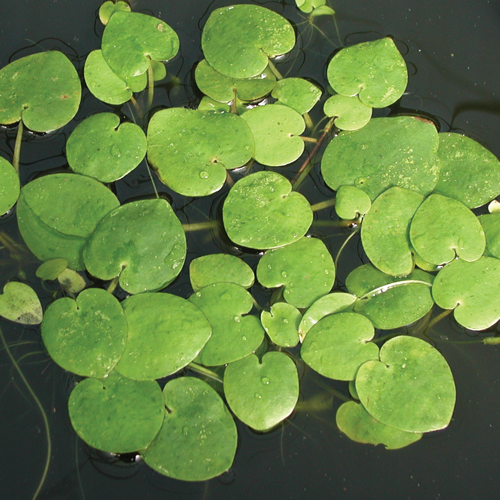 Frogbit bundle of 3 floating plants the pond guy for Floating pond plants