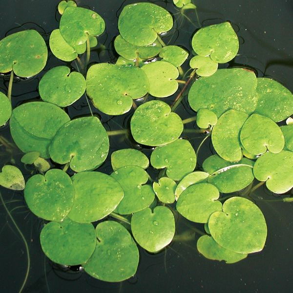 Frogbit, Bundle of 3, Floating Plants: The Pond Guy