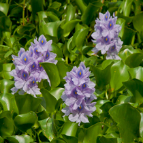 Jumbo Water Hyacinth, Bundle of 3