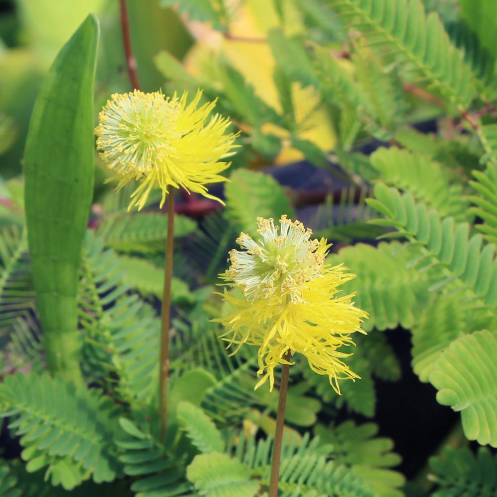 Sensitive Plant, Bundle of 2
