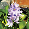 Floating Plant Water Hyacinth