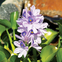Water Hyacinth, Bundle of 3
