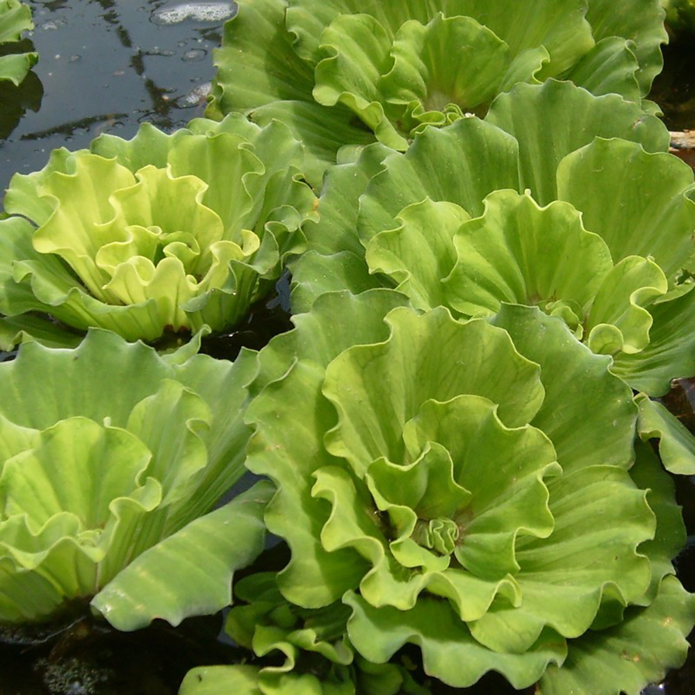 Curly leaf rosette water lettuce floating water plants for Floating pond plants