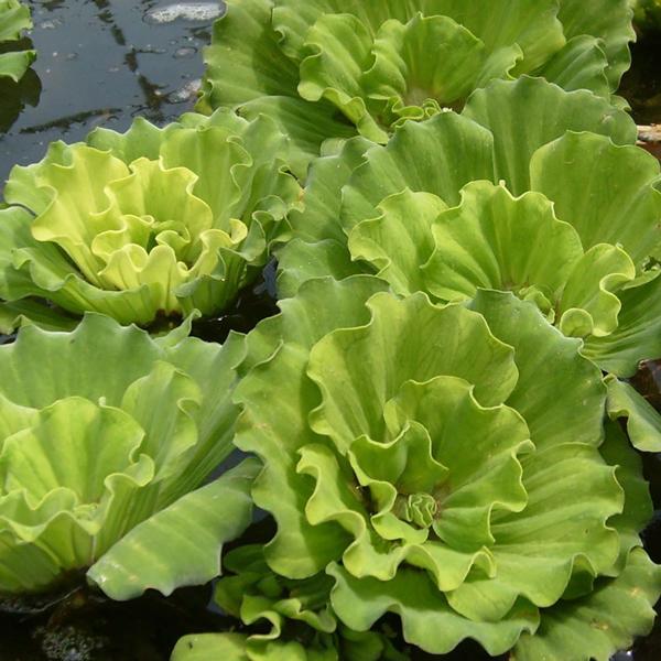 Curly Leaf Rosette Water Lettuce, Bundle of 3