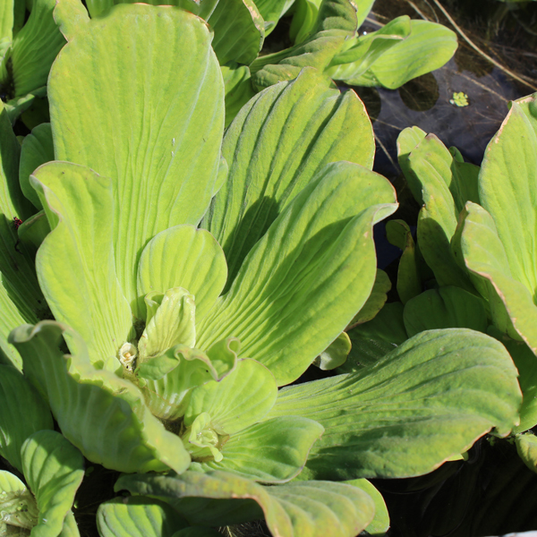 Jumbo water lettuce floating water plants the pond guy for Floating pond plants