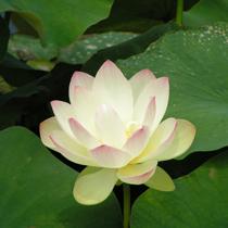 Chawan Basu Lotus