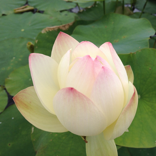 Empress - Hardy Water Lotus