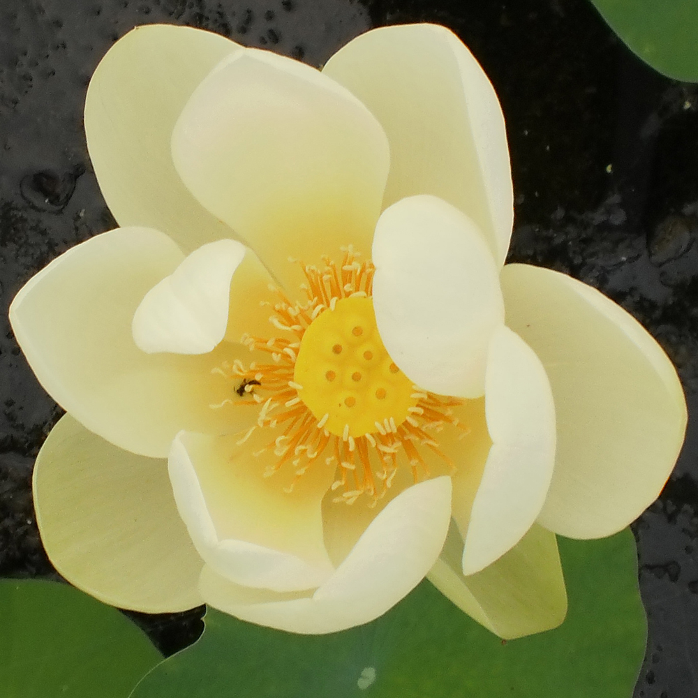 Giant Sunburst Hardy Water Lotus Lotus The Pond Guy