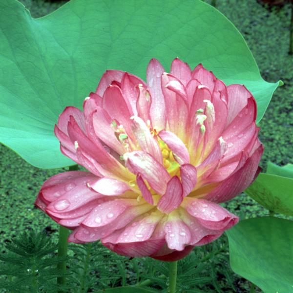 Momo Botan - Hardy Water Lotus