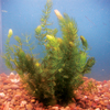 Submerged Plant - Hornwort