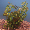 Submerged Plant - Red Ludwigia