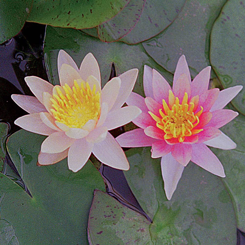 Aurora hardy water lily lilies the pond guy aurora hardy water lily izmirmasajfo