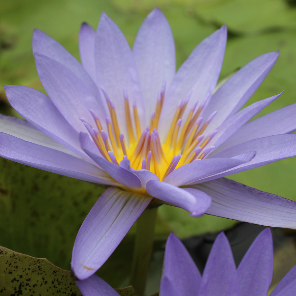 Blue beauty tropical water lily tropical lilies the pond guy blue beauty tropical water lily izmirmasajfo