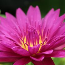 Bull's Eye Tropical Water Lily