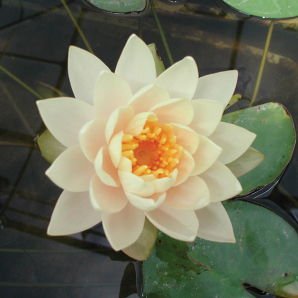 Clyde Ikins Hardy Water Lily