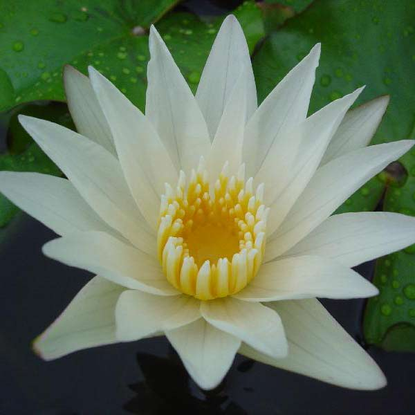 Crystal Tropical Water Lily