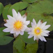 Dauben Blue Tropical Water Lily