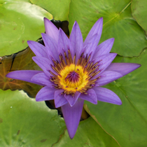 Director Moore - Tropical Water Lily