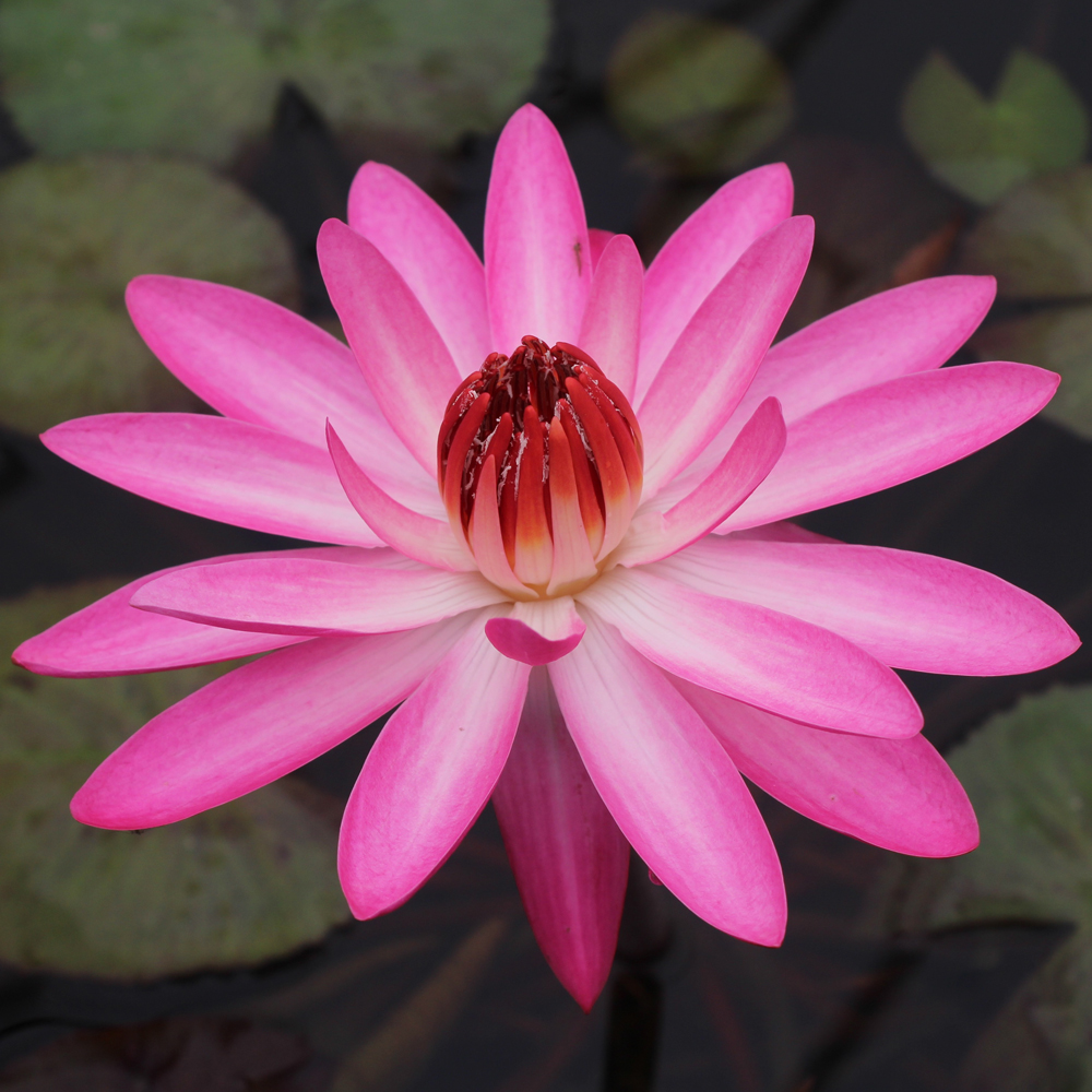 Emily g hutchings night blooming tropical water lily tropical emily g hutchings night blooming tropical water lily izmirmasajfo Images