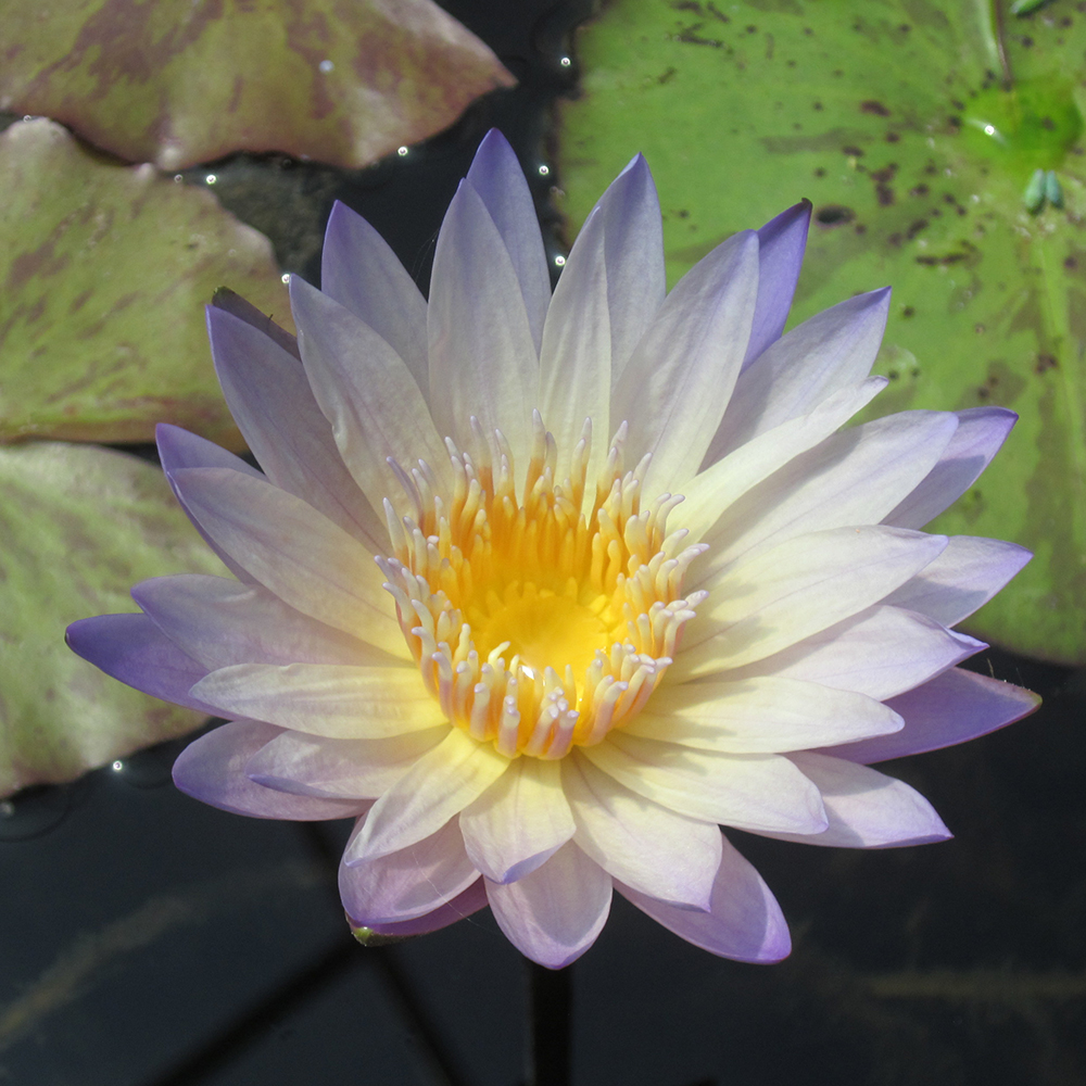 Green smoke water lily tropical water lily the pond guy green smoke tropical water lily izmirmasajfo