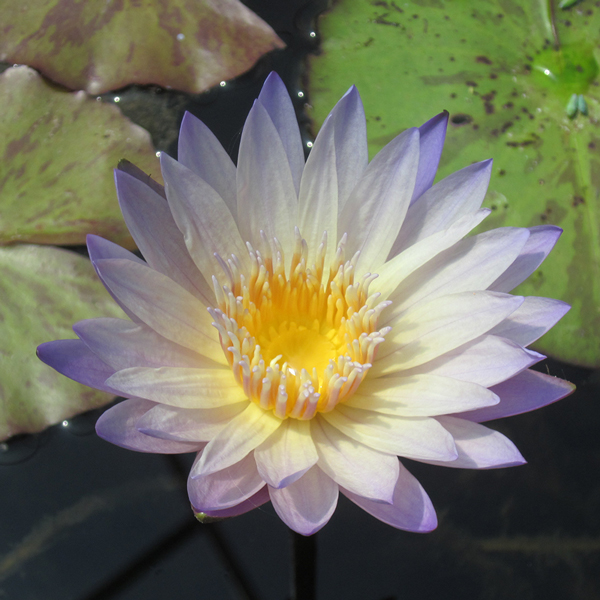 Green Smoke Tropical Water Lily