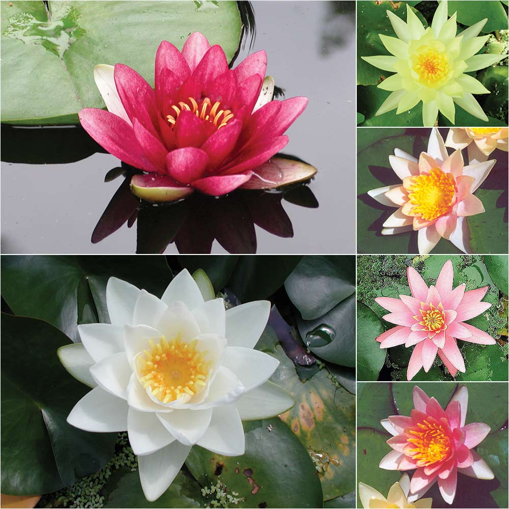 Water Lily: Grower's Choice Hardy Water Lilies, Lilies: The Pond Guy