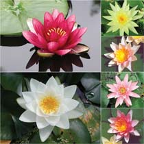 Hardy Water Lily Growers Choice: Red, Pink, White, Yellow, Peach, Orange, Color-Changing