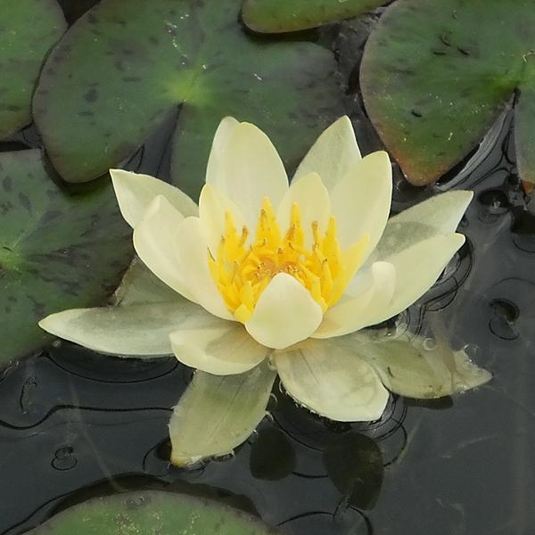 Helvola Hardy Water Lily