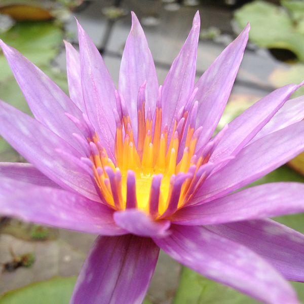 Islamorada - Tropical Water Lily