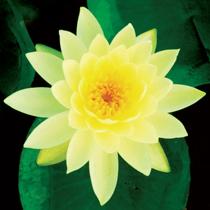 Lemon Mist Hardy Water Lily