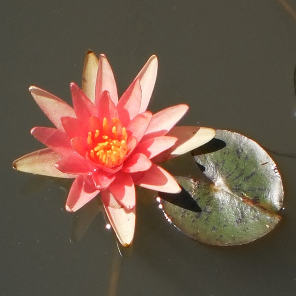 Little Sue Hardy Water Lily