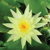 Plant Water Lily Mexicana