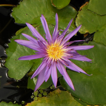 Midnight - Tropical Water Lily