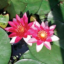 Plant Water Lily Perry's Baby Red