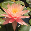 Plant Water Lily Pink Grapefruit