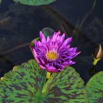 Plum Crazy - Premium Tropical Water Lily