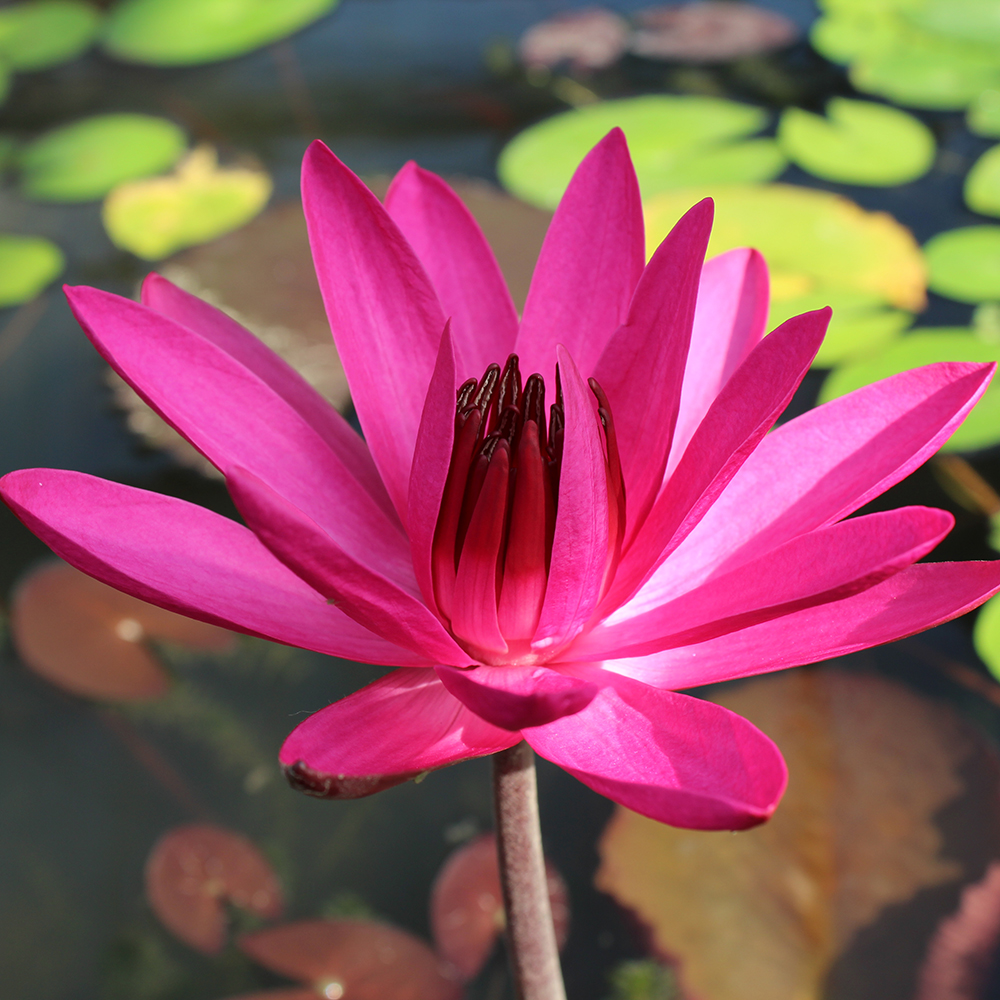 Red cup night blooming lilytropical lily plantsthe pond guy red cup night blooming tropical water lily izmirmasajfo