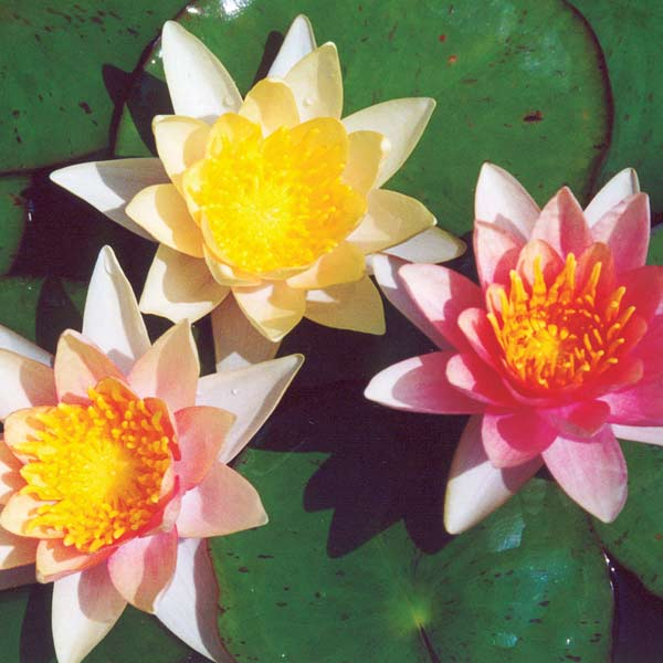 Sioux Hardy Water Lily