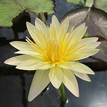 Stan Skinger Tropical Water Lily