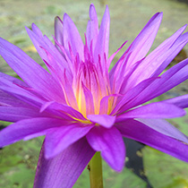 Star of Zanzibar Tropical Water Lily
